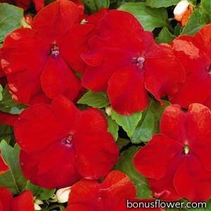 Бальзамин Уоллера Xtreme™ Red