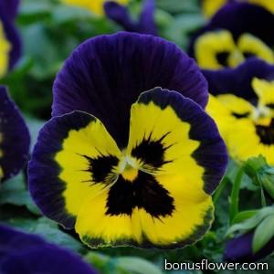 Виола MATRIX® F1 Yellow Purple Wing