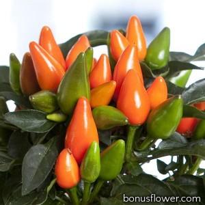 Перец декоративный Salsa XP Dark Orange