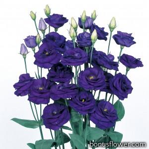 Эустома (Лизиантус) Rosita® 2: Sapphire (Blue)