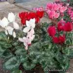 Цикламен плющелистный - Cyclamen hederifolium