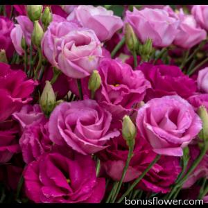 Эустома (Лизиантус) Rosita® 3: Red
