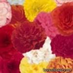 Бегония клубневая - Begonia tuberosa