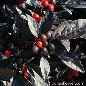 Перец декоративный Black Pearl (h 35-45 cm