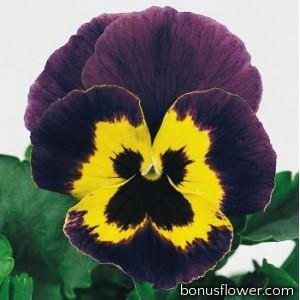 Виола виттрока Joker®: Violet & Gold