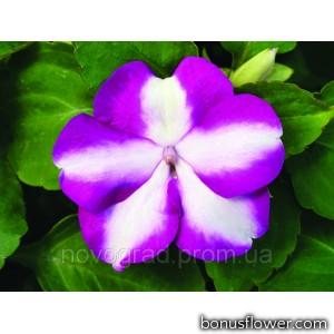 Бальзамин Accent Premium™ Violet Star