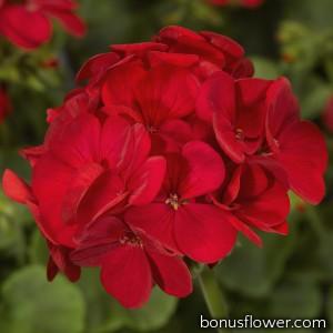 Пеларгония садовая Multibloom Red
