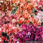 Горошек душистый (Чина)  - Lathyrus odoratus nanus