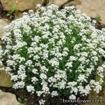 Гутчинзия альпийская - Pritzelago alpinа (Hutchinsia)