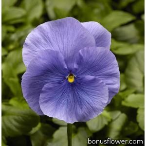 Виола Виттрока Fino F1 Light Blue
