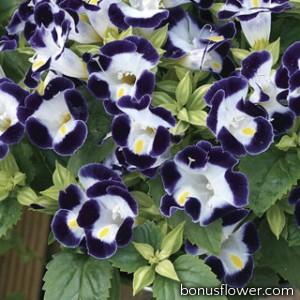 Торения Фурнье Duchess™ Blue & White