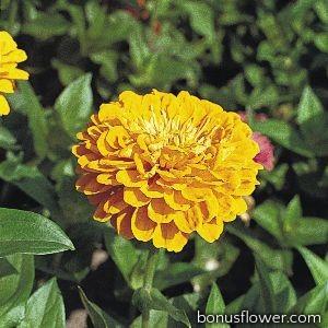 Цинния Benary's Giant™: Golden Yellow