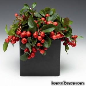Гаультерия Winter Pearls™`Big Berry 'Gaubi'