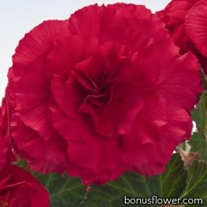 Бегония клубн Nonstop® Deep Rose