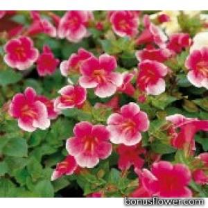 Мимулюс гибридный Mystic: Rose