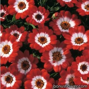 Цинерария гибридная Jester® Scarlet Bicolor