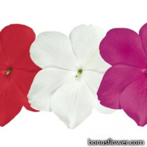 Бальзамин Lollipop™: Cherries Jubilee Mix