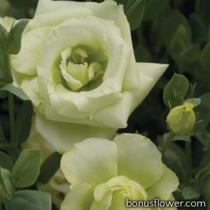 Эустома (Лизиантус) Mariachi®: Lime Green