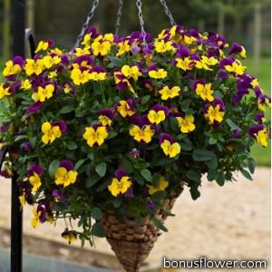 Виола Freefall® Purple Wing