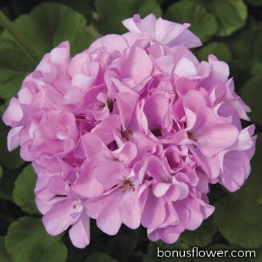 Пеларгония садовая Maverick Quicksilver