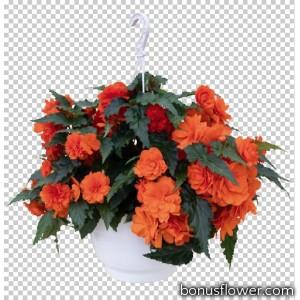 Бегония клубн Nonstop® Joy Orange