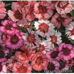Гвоздика китайская - Dianthus barbatus
