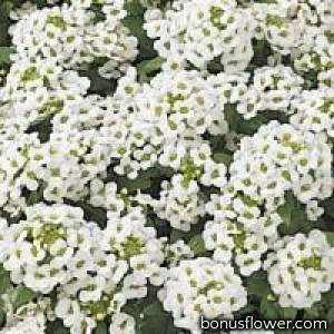 Алиссум морск EASTER BONNET WHITE