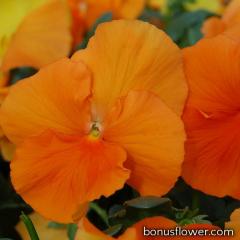 Виола Cello™ pure deep orange