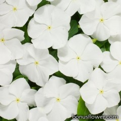 Катарантус роз Heatwave white