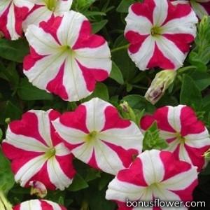 Петуния многоцветковая Lambada Rose Star