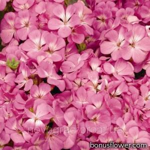 Пеларгония садовая Multibloom Pink