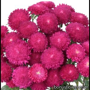 Астра на срез Bonita: Rose