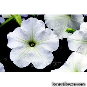 Петуния многоцв Hurrah® F1 White
