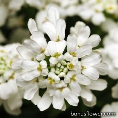 Иберис вечнозеленый WHITEOUT