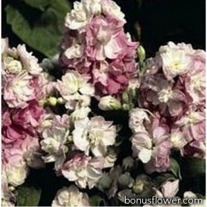 Маттиола Колумн яблоневый цвет