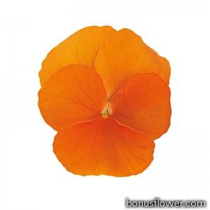 Виола Grandissimo: Clear Orange