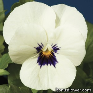 Виола Penny™ White Blotch