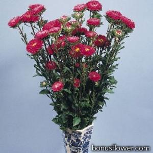 Астра на срез Fan®: Deep Rose