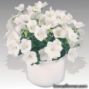 Колокольчик карпат, Pearl®: White
