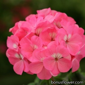 Пеларгония Dancer F2 Deep Rose