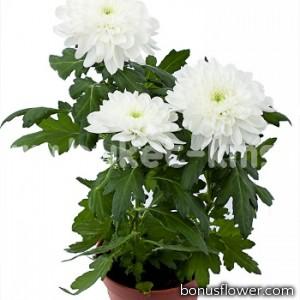 Астра низкая Pot`N Patio WHITE