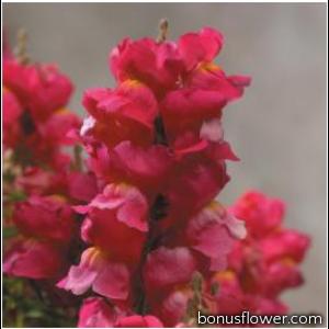 Львиный зев Floral Showers: Rose