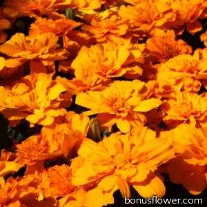 Бархатцы отклон Alumia Deep Orange