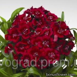 Гвоздика турецкая - Diabunda™ Red