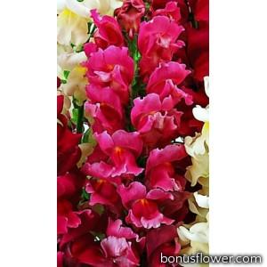Львиный зев - Liberty Classic ™ Rose Pink