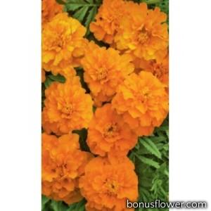 Бархатцы развесистые Оранжевые