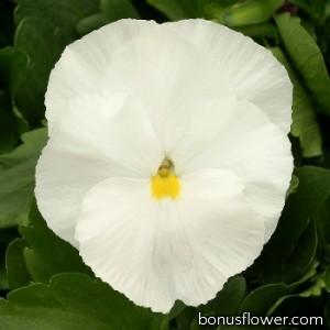 Виола Magnum Pure White