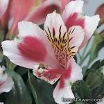 Альстромерия гибридная - Alstroemeria hybrida