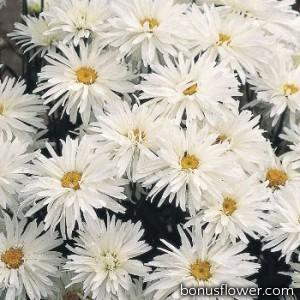 Ромашка садовая Crazy Daisy