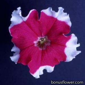 Петуния  Donna F1 Rose Picotee